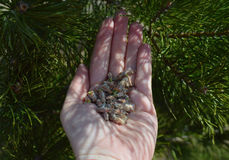 Plant hand berry agriculture kidney forest pine fresh seedling green closeup spring holding grass environment planting seedling gr. Plant hand berry agriculture Royalty Free Stock Photography
