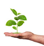 Plant in a hand, isolated Royalty Free Stock Photo