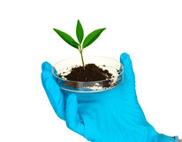 Plant and hand in laboratory Stock Photography