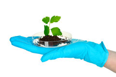 Plant and hand in laboratory Royalty Free Stock Photography