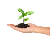 Plant in the hand Royalty Free Stock Image