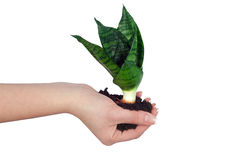 Plant in a hand Stock Image