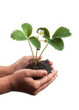 Plant in hands Stock Image