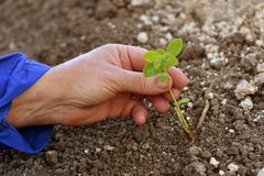 Plant in hands of agricultural worker Royalty Free Stock Image