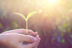 Plant in the hands. Plant in the hands at sunlight. vintage tone stock photography