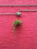 Plant hanging against a pink wall Stock Image