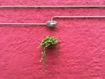 Plant hanging against a pink wall Stock Photography