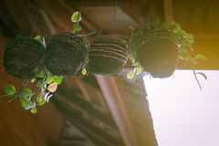 Plant Hanging Window. Plant in coconut pot hanging on window Stock Image