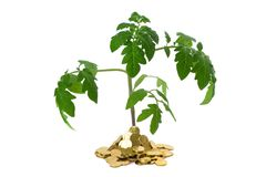 Plant in heap of coins. Exuberant plant sprouting from a heap of golden coins (isolated) - concept for business growth and success royalty free stock photography