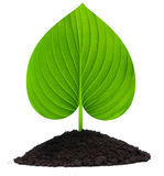 Plant-heart Royalty Free Stock Photo
