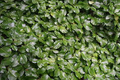 Plant hedge bush leaf texture. Plant hedge glossy bush leaf texture Stock Photography