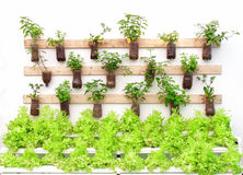 Plant herbs in pots hang on the wall. Royalty Free Stock Image