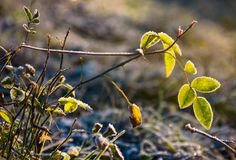 Plant in hoar frost in morning light. Lovely nature background in late autumn royalty free stock image