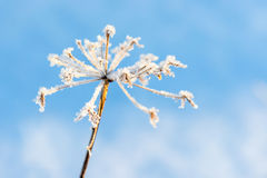 Plant with hoarfrost. Grass covered in frost on light blue background Stock Photo