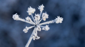 Plant with hoarfrost royalty free stock photo