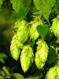 Plant hop. Hop - raw material for manufacture of beer royalty free stock image