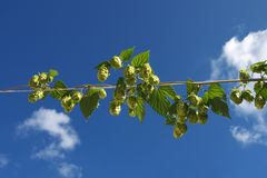 Plant hop with cones Royalty Free Stock Images