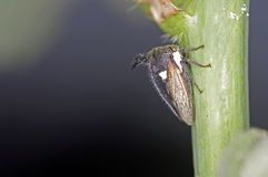 Plant hopper Stock Images