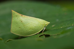 Plant hopper Royalty Free Stock Photo
