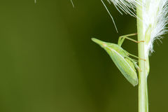 Plant hopper Royalty Free Stock Images