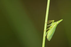 Plant hopper Royalty Free Stock Image