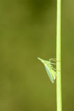 Plant hopper. A green plant hopper stands on grass stem. Scientific name: Dictyophara sinica Stock Image