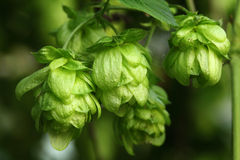 Plant hops Stock Photos