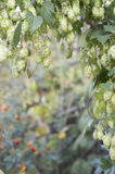 Plant hops Royalty Free Stock Photography