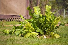 Plant of horseradish Royalty Free Stock Photo