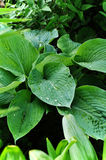 Plant hosta with wet leaves Royalty Free Stock Photography