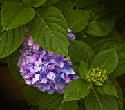 Plant of hydrangea with pink purple flowers and green leaves Stock Photos