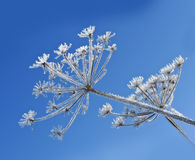 plant with ice crystals Stock Photo