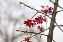 Plant in the ice. Frozen red flowers in winter Royalty Free Stock Photos