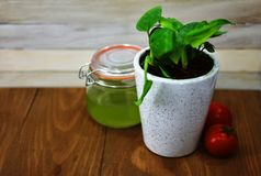 Plant indoor pot ivy green leaves mason jar juice tea red tomatoes wooden background Stock Images