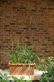 Plant infront of brick wall Stock Image