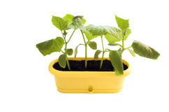 Plant isolated. Fresh plants in pot isolated on white royalty free stock photo