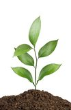 Plant isolated on white Royalty Free Stock Images