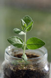 Plant in a Glass Jar Royalty Free Stock Photos
