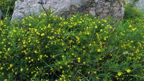 The plant Jasminum fruticans with yellow flowers grows on stony ground in the mountains. Cloudy foggy weather stock video