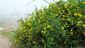 The plant Jasminum fruticans with yellow flowers grows on stony ground in the mountains. Cloudy foggy weather stock video footage