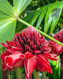 Plant from jungle Torch Ginger Royalty Free Stock Image