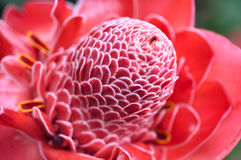 Plant from jungle Torch Ginger Stock Photography