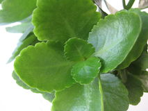 Plant Kalanchoe separately. With green leaves Royalty Free Stock Images