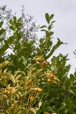 Plant of kumquat Royalty Free Stock Photography