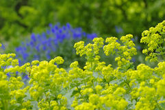 The plant ladys-mantle, Alchemilla mollis Royalty Free Stock Photography