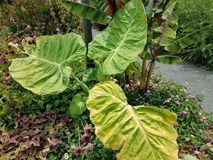 Plant with large leaves Royalty Free Stock Photos