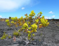 Plant on lava royalty free stock photography