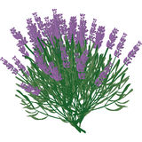 Plant lavender Stock Photography