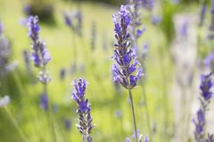 The plant lavender. Flowering of the plant lavender, flowers and nature stock image
