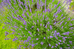 Plant lavender in the spring. Photographed from above royalty free stock photography